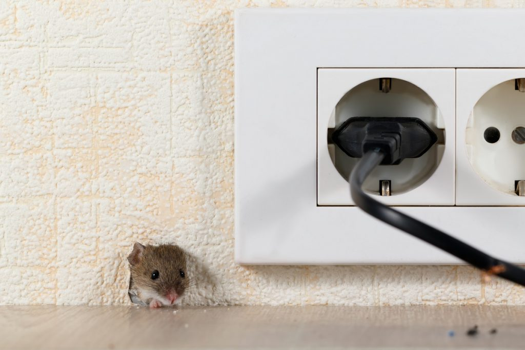 Mouse in a wall hole