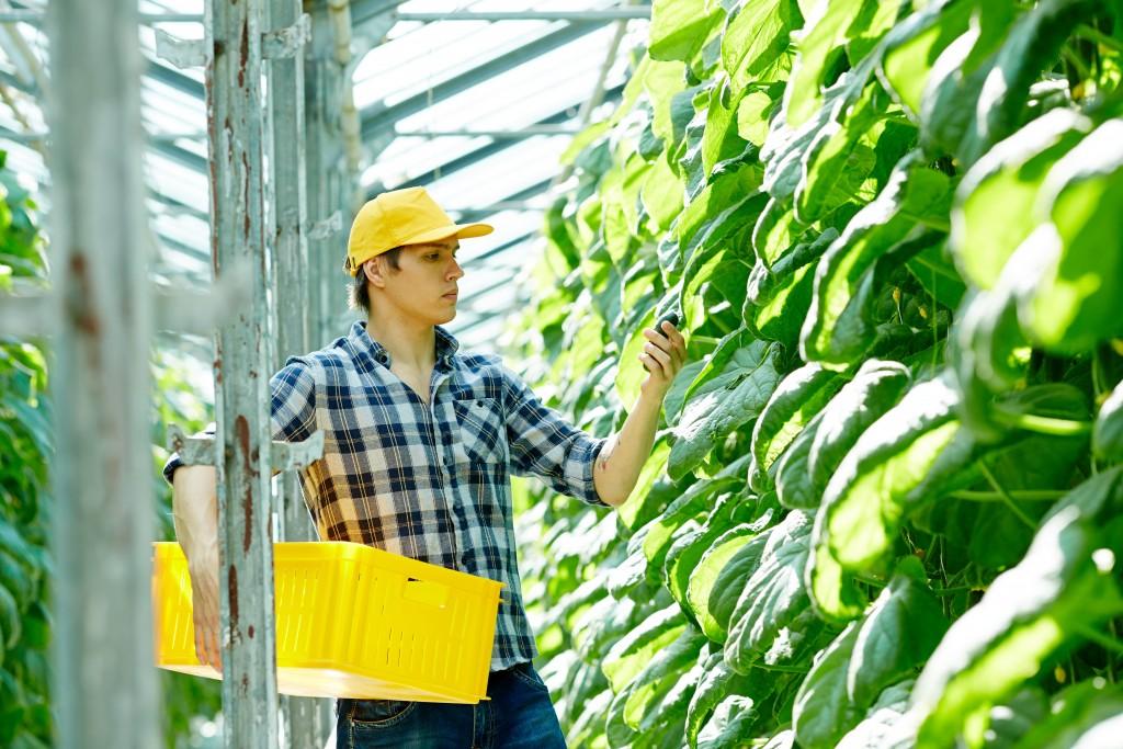 man harvesting fruits in a farm